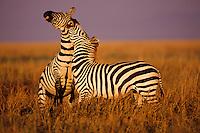 Burchell's Zebra or Plains Zebra (Equus burchelli), Africa.  Two zebra stallions fighting--biting and kicking--over dominance.  Serengeti N.P., Tanzania.