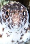 Spotted moray: Gymnothorax moringa, head on view