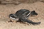 Leatherback turtle (Dermochelys coriacea) baby.