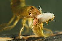 Diving Beetle larva (Dytiscus marginalis) eating a larval Great Crested Newt (Triturus cristatus).
