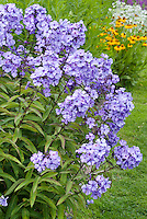 Phlox paniculata 'Blue Paradise' incredibly fragrant scented flowers