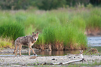 Gray wolf, Brooks river, Katmai National Park, southwest, Alaska.