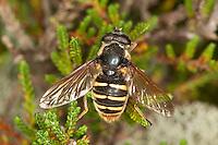 Große Torf-Schwebfliege, Gelbband-Torfschwebfliege, Torfschwebfliege, Grosse Torfschwebfliege, Weibchen, Sericomyia silentis