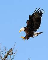 Bald Eagle at the Llano, Tx nest area approaches a landing spot.