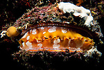 Milne Bay, Papua New Guinea; Thorny Oyster (Spondylus varius) , Copyright © Matthew Meier, matthewmeierphoto.com All Rights Reserved