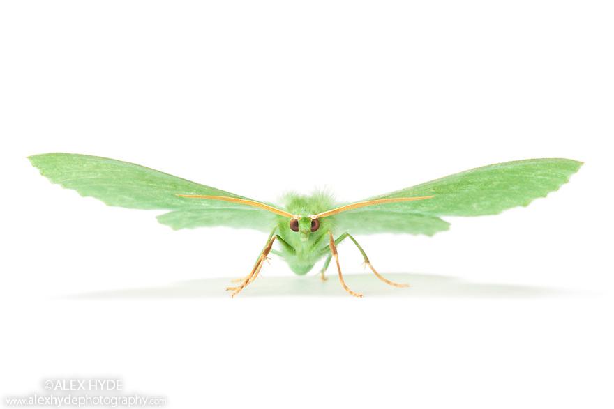 Large Emerald moth {Geometra papilionaria} photographed on a white background. Derbyshire, UK. July.