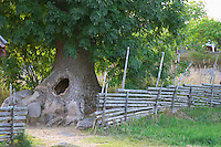 The hollow tree where the children could hide. The original location where Astrid Lindgren's story on Bullerbyn was filmed. In reality called Sevedstorp. Smaland region. Sweden, Europe.