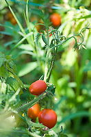 Close-up of ripe tomatoes on the plant