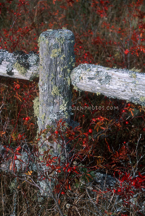 Lichen covered rustic fence with rosehips in autumn fall color, shaped like a cross