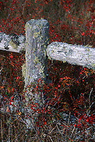 Lichen covered rustic fence with Rosa multiflora (wild Carolina rose) rosehips in autumn fall color, with fence post and rail shaped like a cross.