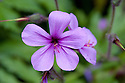 Geranium palmatum (syn. Geranium anemonifolium), early July. Native to Madeira.