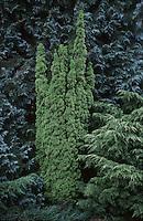 Taxus cuspidata 'Fastigiata' aka Taxus baccata 'Fastigiata'