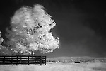 Infrared photograph of a tree blowing in the wind at Historic Long Branch in Millwood, Virginia.<br />
