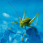 Portfolio Images. Lensbaby Bush Cricket.