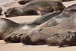 Santa Fe Island, Galapagos, Ecuador; Galapagos Sea Lions (Zalophus wollebaeki) all lined up in a row, laying in the sand on the beach at the edge of a lagoon on the eastern side of Santa Fe Island , Copyright © Matthew Meier, matthewmeierphoto.com All Rights Reserved