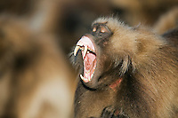 Gelada male (Theropithecus gelada) yawning, Simien Mountains National Park, Ethiopia.