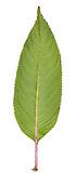 Himalayan Balsam - Impatiens glandulifera