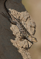425900013 a wild male great basin fence lizard sceloporus occidentalis longipes perches on a rock along chalk cliffs road bishop california united states