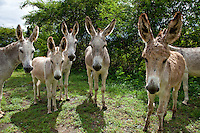 Local Donkeys<br /> St John<br /> U.S. Virgin Islands