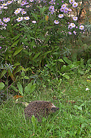 Europäischer Igel im Garten, Westigel, Braunbrustigel, Erinaceus europaeus, Western hedgehog, Hérisson d`Europe de l`Ouest
