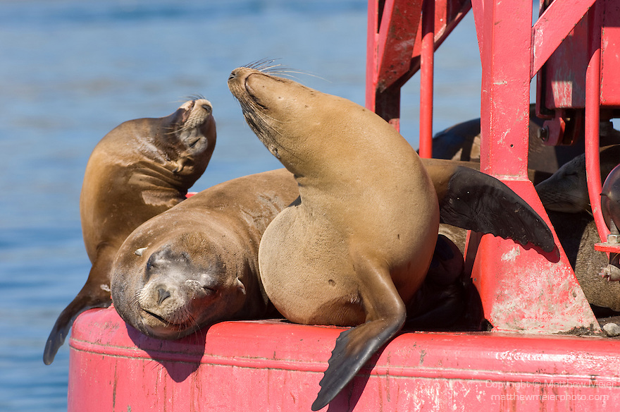 San Diego Bay, San Diego, California; a bull male California Sea Lion (Zalophus californianus)  and two females haul out of the water on a red channel marker buoy