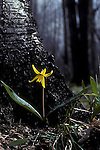 Trout Lily, Adder's Tongue