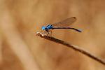 Blue Damselfly, Vivid Dancer male, Argia vivida, Temescal Canyon, Southern California