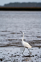 Little egret (Egretta garzetta) on the shores of Poole Harbour. Dorset, UK.