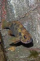 Gebänderter Rotbarsch, Kleiner Rotbarsch, Norwegischer Rotbarsch, Sebastes viviparus, Norway haddock, lesser redfish