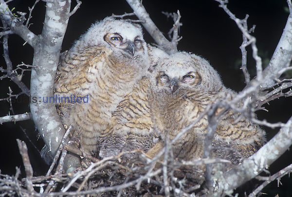 Great Horned Owl young or owlets in their nest ,Bubo virginianus,, Texas, USA.