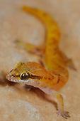 The Gecko Hemidactylus pumilio is one of the smallest Geckos of Socotra, Yemen