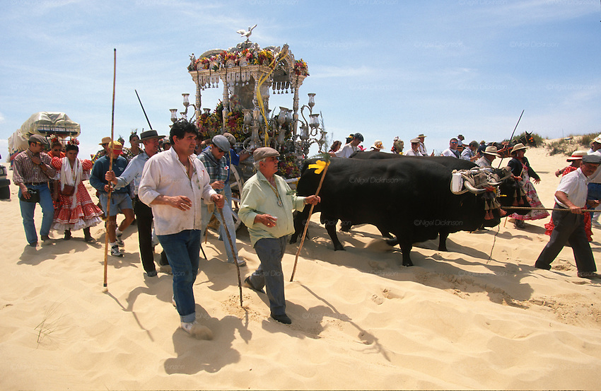 """The pilgrim route of the Hermandade de Sanlucar de Barrameda from Sanlucar across the Parque Donana to El Rocio, Huelva Province, Andalusia, Spain...El Rocio follows on from Semana Santa - Easter week and the various spring ferias, of which Seville's Feria de Abril (April) is the biggest. The processions to the (Hermitage) Hermita de El Rocío, at Pentecost, is the most famous (Romeria) pilgrimage in the Andalusian region, attracting nearly a million people from across Andalusia, Spain and the world. The cult started off in the 13th century when a statue of the virgin Mary was apparently found in a tree trunk in the Donana Park. What was first a local devotion at Pentecost by local pilgrim brotherhoods """"hermandades"""" became by the 19th century into dozens of fraternities developed from such as Cadiz, Selville and Huelva. Some walk for several days, others travel with oxen drawn wagons or on horseback, with traction engines and all terrain vehicles, camping along the trail they take. They wear Andalusian costumes, tight breeches, boots, short jackets and frilly flamenco skirts. Many festivities, flamenco dance, laments, songs and music are combined with religious prayers. Devout pilgrims walk as a penance, keeping vows of silence. An emblem of the immaculate conception (sin peche) is carried. On the Pentecost after the stroke of midnight on the whit Sunday the virgin Mary is carried from the church through the streets of El Rocio by each hermandade to visit each brotherhood's shrine."""