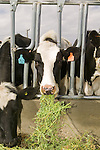Dairy cows feeding on Roundup Ready ® alfalfa (Medicago sativa) on Jerry Tlucek Dairy Farm. Melba, Idaho