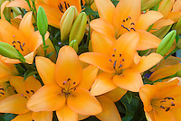 Lilium 'Advantage' (LA hybrid) lily mass of flowers and buds