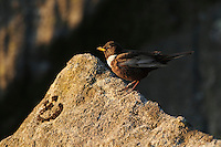 A Male Ring Ouzel perches on a gritstone boulder, Burbage Valley, Peak District, UK