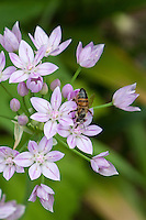 Honeybee dipping its tongue into the nectar of  an allium flower.