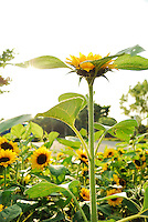Beautiful nature Sunflower photograph of the open field with sunlight effect. China landscape stock images by Paul Chong.