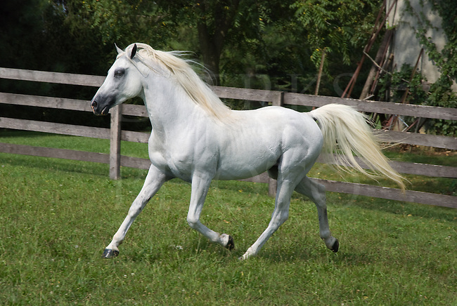 Picture of a white Arabian horse in motion at a trot.