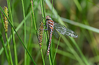 339600004 a wild teneral male shadow darner aeshna umbrosa perches on bogside water plants in central modoc county california