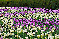 Tulips, , Central Park, Conservatory Garden, New York CIty, New YorK,