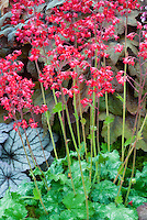Heuchera 'Lipstick'? in flower