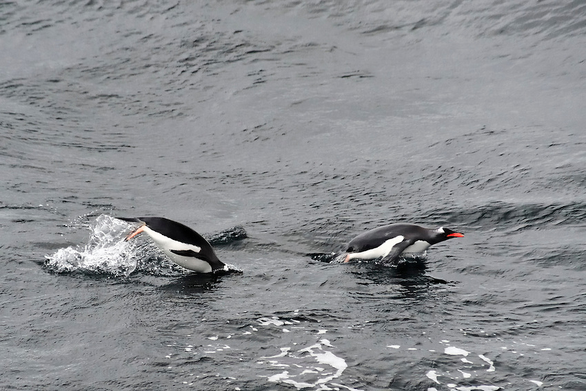 One in, one out - Penguins frolicking off Currerville Island