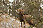 A bighorn sheep stands among the trees on a snowy hillside during a light snowfall.