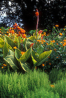 Canna x generalis Striata aka 'Praetoria' (Bengal Tiger), Bassia, Cosmos sulphureus, in beautiful summer garden planting combination of yellow, green and orange, with striped leaves