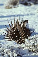 Sage grouse male strutting, March, Western U.S.