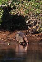 605508025 a wild nine-banded armadillo dasypus novemcintus drinks at a small waterhole while a rio grande leopard frog rana berlandieri looks on in the rio grande valley of south texas
