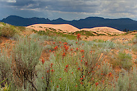 738900005 mountains and dunes framed by wild flowering zion paintbrush castilleja scabrida in coral pink sand dunes state park utah