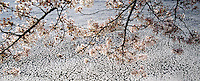 Cherry Blossom Branches &amp; floating in water, Tidal Basin, Washington DC