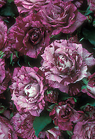 Rosa Purple Tiger aka Jacpurr, unusual mottled, streaked, striped purple and white floribunda roses