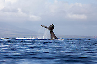 Humpback whales migrate to Hawai'i every winter; this one was seen near Maui.